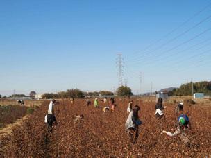 コットン畑でのワークショップでは種まきから収穫まで体験できる。参加者募集はお店のホームページから