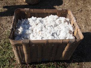 活動の規模が拡大するにつれ栽培するコットンの量も増加。このコットンがお店での糸紡ぎに使われます