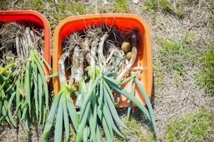 この日は共同作業日で長ネギの収穫とジャガイモの植え付けを。おいしそうな長ネギがいっぱい!