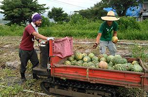 """「土の民」の活動の一つ、農家支援。山形県村山市にある""""いちゃ〜ファーム""""で収穫後のスイカ畑の片づけをしている"""